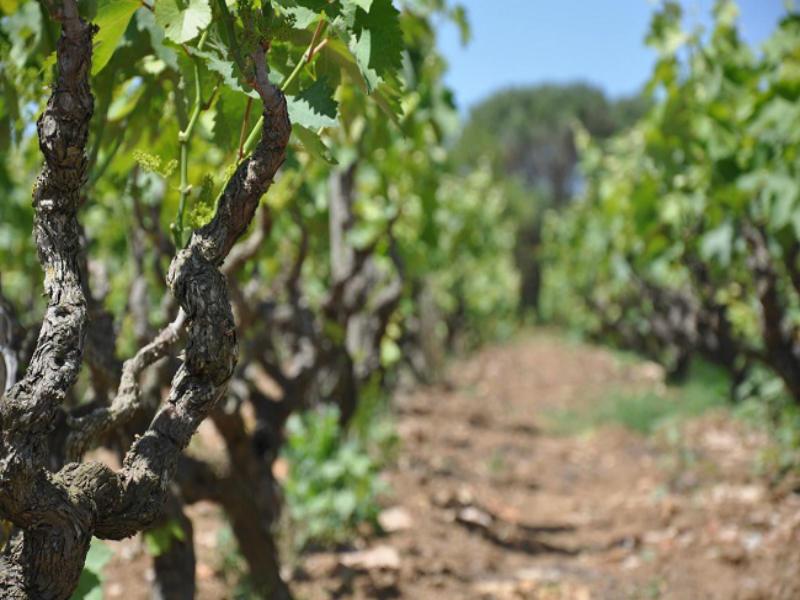 vitigno-del-salento
